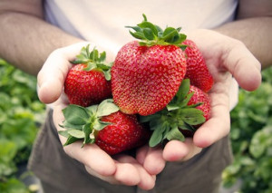Washington_Farms_Strawberries_3